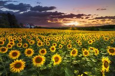 images of sun flowers - Google Search