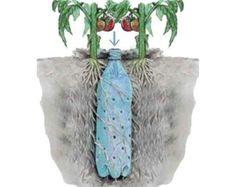 Coke bottle irrigation for tomatoes