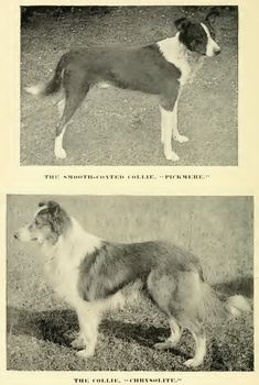 1890s Smooth & Rough Collies
