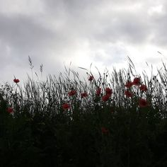 #beauty in #red #mohnblumen #poppy #gegenlicht #greyclouds #grey #clouds #nature #naturephotography #motherearth #mothernature… Cyber Bullying, Grey Clouds, Mother Earth, Poppies, Nature Photography, Instagram, Red, Pictures, Beauty