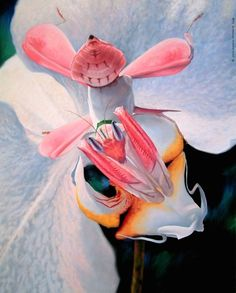 Orchid Mantis - look carefully . . . .