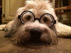 Miss Ani - The Wheaten Terrier