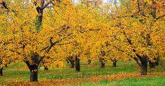 Cinzas de madeira podem ser colocadas em volta de árvores frutíferas?. Se você utiliza um fogão à lenha ou uma lareira, guarde as cinzas para alimentar suas árvores frutíferas. Cinzas de madeira seca são um fertilizante que você pode fazer em casa e são um bom aditivo ao solo para suas árvores de fruto e pomar.