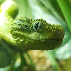 animals Stunning bush viper -by sc_venom thanks Les Reptiles, Reptiles And Amphibians, African Bush Viper, Dragons, Snake Art, Cute Funny Animals, Tumblr, Pets, Beautiful Snakes