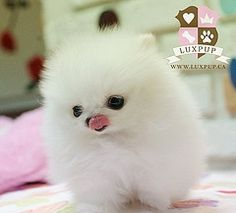 This is a photo of a white Pomeranian puppy. Pomsky Puppies, Tiny Puppies, Fluffy Puppies, Pomeranian Puppy, Cute Puppies, Cute Dogs, Teacup Pomeranian, Pomeranians, Puppys