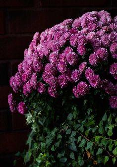 Krysanteemi, Chrysanthemum