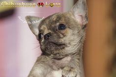 Chihuahuas Love - Que Me Han Dado y Quitado Los Chihuahuas. Chihuahuas. 3ª Entrega.