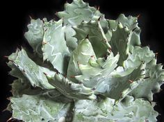 竜舌蘭 甲蟹 Agave isthmensis