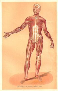 Antique Images: Vintage Medical Illustration: Clip Art of Human Muscular System