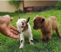 jalapeno and poppadom Halli and poppa Cute Baby Cow, Baby Animals Super Cute, Cute Little Animals, Cute Funny Animals, Baby Farm Animals, Baby Animals Pictures, Cute Animal Pictures, Animals And Pets, Baby Goats