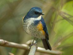 Himalayan Bluetail (male) - Tarsiger rufilatus | by Michael Gillam