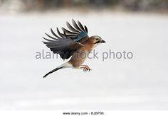 Jay (Garrulus glandarius), in flight, winter, Germany - Stock Image