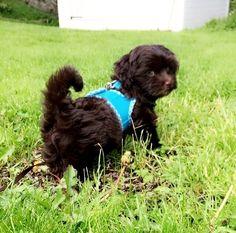 My pretty little bichon havanese puppy ❤️