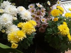 chrysantemum  , I'm glad to see them grow up beautifully
