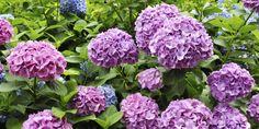 Blundering Gardener: What's trending for Hydrangea, begonias, impatiens, geraniums Giant Flowers, Purple Flowers, Purple Hydrangeas, Growing Flowers, Planting Flowers, Flowering Plants, Flower Gardening, Gardening Tips, Planter Hortensia