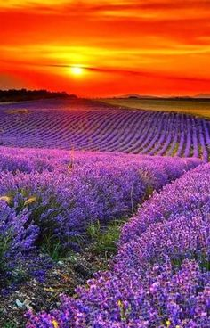 Good Morning Friends :) Have a Fabulous ,Beautiful Sunday  #SunRise #LavenderField #Provence #France