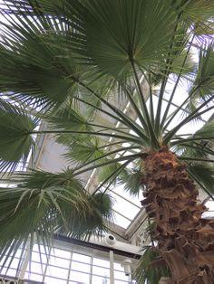 Washingtonia robusta. http://www.elhogarnatural.com/Arboles.htm