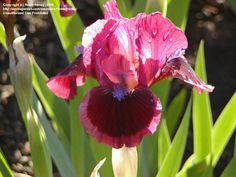 View picture of Standard Dwarf Bearded Iris 'Cat's Eye' (Iris) at Dave's Garden.  All pictures are contributed by our community.
