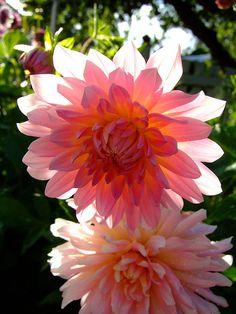 Gorgeous Dahlias in Sedro-Woolley - Washington State - USA