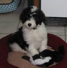 Sheepadoodle!!! I want one!