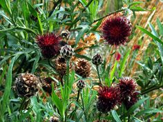 3 Centaurea atropurpurea Established bee butterfly nectar Red Wild Thistle plant