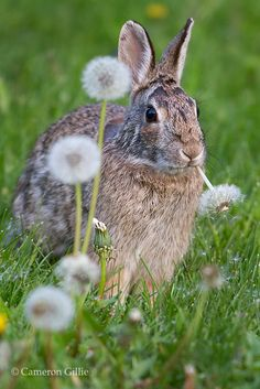 Bunny eating dandelion