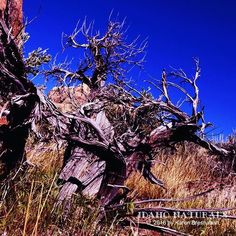 Incredible large, two headed Basin Big Sagebrush (Artemisia tridentata). #desert #Idaho #owyhees #landscape #oldwood #cool #abstract #nature #beauty #outdoor #adventure #natural #amazing