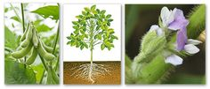 Buy Edamame seeds from Kings Seeds - looking forward to planting in Spring :)