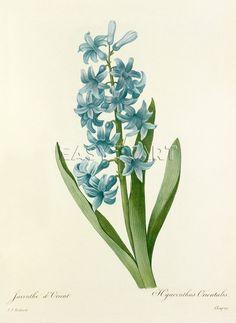 Redouté, Hyacinthus orientalis. http://www.easyart.fr/art-sur-toile/Pierre-Joseph-Celestin-Redout%E9/Jacinthe-d%27Orient-%3A-Hyacinthus-orientalis-425515.html