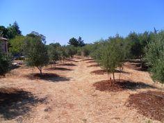 Olive Groves Kefalas Crete