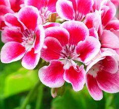 Geranium beauty  #valentines #sweetlove #adore #sayitwithflowers #aromatherapy