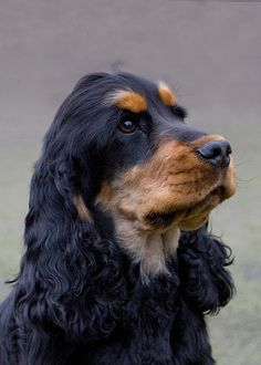 cocker spaniel (black & tan) maybe Mason will grow up and look like this