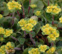 Woodland Plants - Evergreen Woodlanders - Chrysosplenium davidianum
