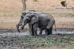 I found these two amazing big Elephant bulls on a hot day in Kruger, they were taking a mud bath. They do this to cool down, protect themselves from the sun and to remove parasites! Mud Bath, Biggest Elephant, Big Animals, Hot Days, Wildlife Photography, Conservation, Safari, Africa, Sun