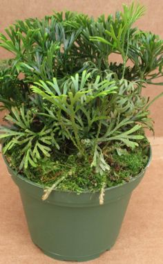 RareFerns – Tropical ferns, epiphytes, platycerium, huperzia, ant ferns, ant plants, terrarium plants