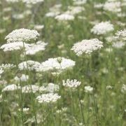 How to Preserve Queen Anne's Lace for Bouquet