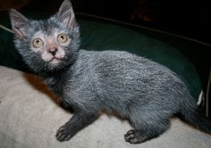 Le Lykoi, petit chat garou