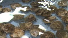 """SHELLSHOCKED: Saving Oysters to Save Ourselves - Official Trailer [HD] by Emily Driscoll. www.shellshockedmovie.com A film by Emily Driscoll. SHELLSHOCKED follows efforts to prevent the extinction of wild oyster reefs, which keep our oceans healthy by filtering water and engineering ecosystems. Today, because of overfishing and pollution, wild oyster reefs have been declared """"the most severely impacted marine habitat on Earth"""" and are """"functionally extinct."""" Now scientists, government officials,"""