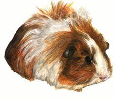 Sheltie guinea pig by ~Graid on deviantART