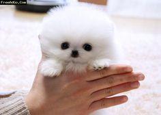 Micro Tiny Teacup*Pomeranian *