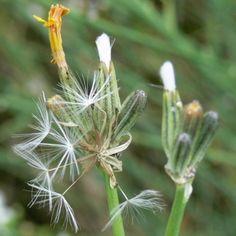 Skeleton weed (Chondrilla juncea) is a perennial forb and is considered a noxious weed. Alien Plants, Perennials, Skeleton, Weed, South Africa, Van, Flowers, Skeletons, Marijuana Plants