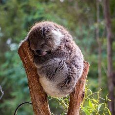 """68.2 ezer kedvelés, 928 hozzászólás – Australia (@australia) Instagram-hozzászólása: """"""""Wake me up when it's the weekend..."""" 😴 We know the feeling, buddy! @schtivie23 spotted this cute…"""""""