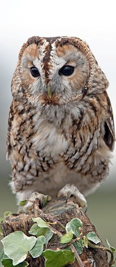 Tawny Owl (Strix Aluco) by Dave Hunt Photography