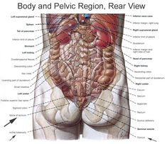 Diagram of the human body internal organs nursing pinterest human anatomy organs source anatomy a regional atlas of the human body body and pelvic region rear view ccuart Images
