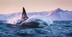 """2016 Nat Geo Nature Photographer of the Year, Part II - """"Killer swimmer of the sea """" We tracked along the side of this Orca swimming out of the Norwegian sea as it dove into and out of the water like a dolphin. The curvature of the water spray around its body truly gives testament to the aerodynamic build of these magnificent creatures.The Atlantic"""