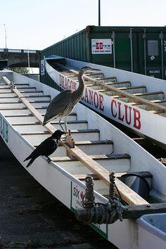 Nice Heron Facts photos