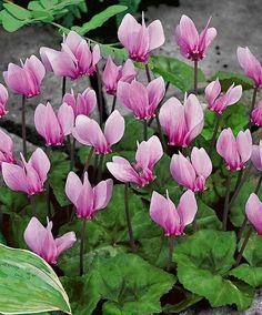 Ciclamino - Cyclamen hederifolium