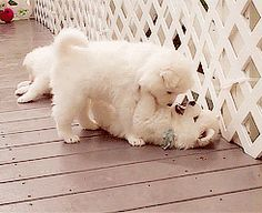 The Samoyed White Puppy Gifs are the Most Adorable Gifs of All Time ~ The Cuteness Buddy