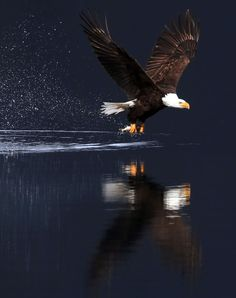 2016 National Geographic Travel Photographer of the Year | On the Hunt: American Bald Eagle Photo and caption by Daniel A. Anderson National Geographic