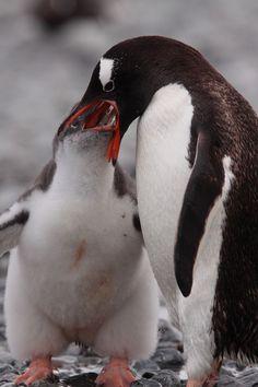 The Gentoo penguin diet consists of crustaceans (krill), fish and squid.
